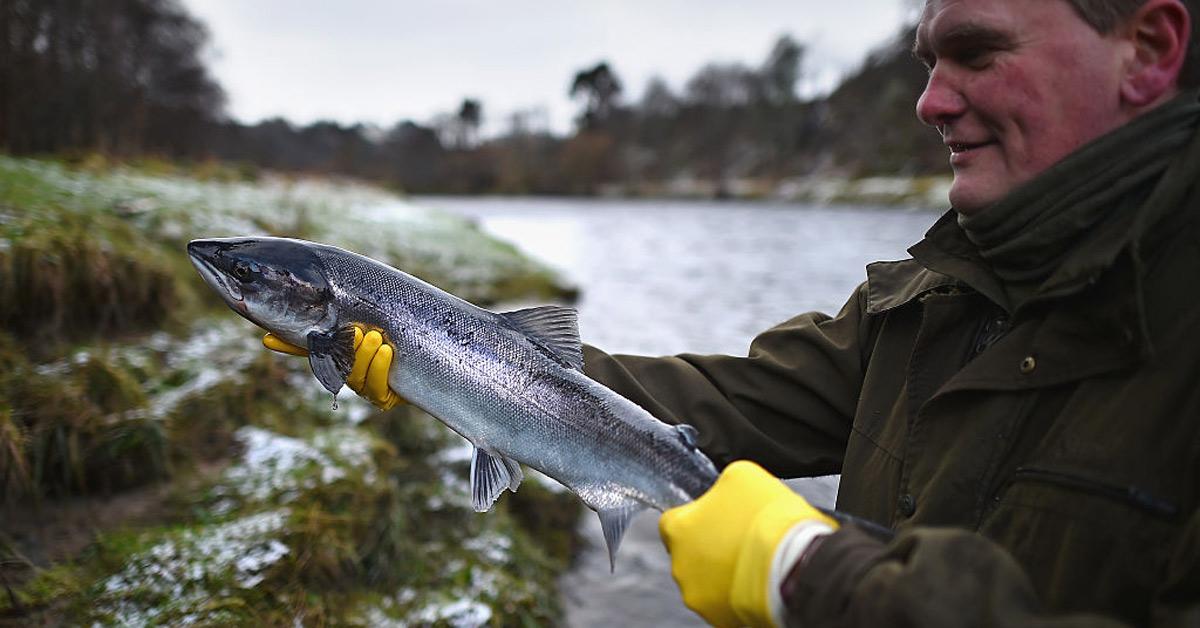 Saumon sauvage ou d'élevage: quel type de saumon est en meilleure santé?