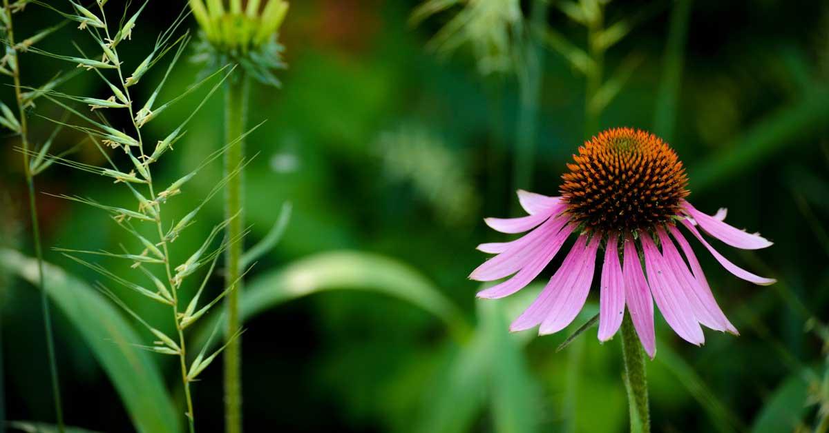Echinacea: Avantages, utilisations, effets secondaires et posologie
