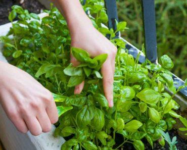 Basilic: Nutrition, Bienfaits pour la santé, Utilisations et Plus
