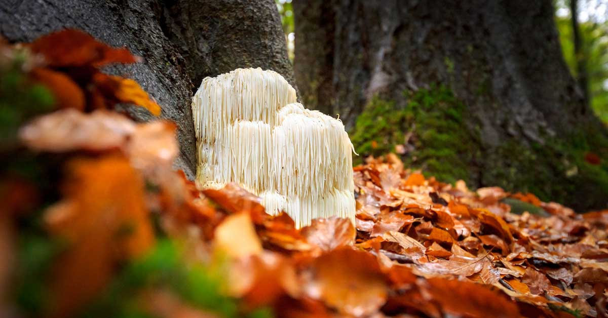 9 avantages pour la santé du champignon de crinière de lion (plus effets secondaires)