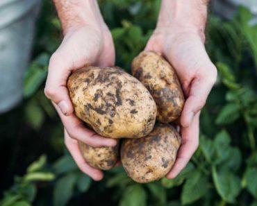 Quelle est la meilleure façon de conserver les pommes de terre?