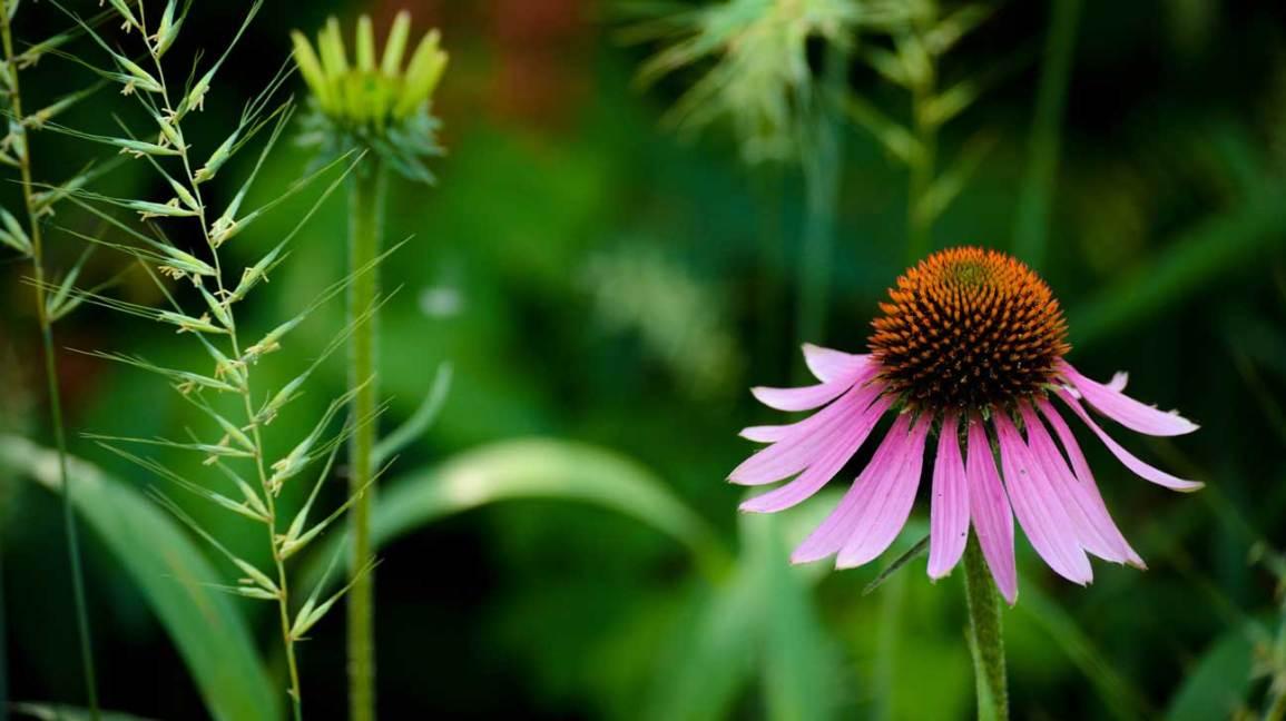 Equinácea: beneficios, usos, efectos secundarios y dosis