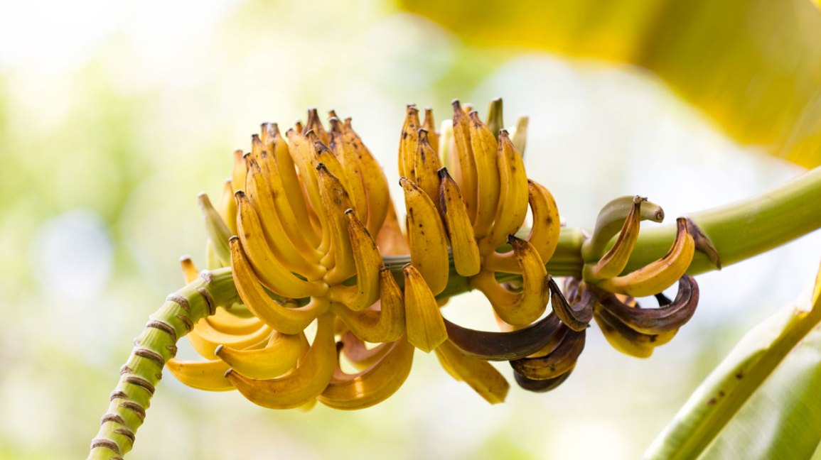 Baie de banane ou fruit