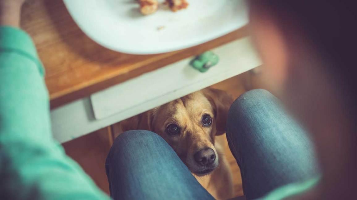 Chien sous la table en espérant de la nourriture
