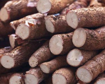 Le manioc: avantages et inconvénients