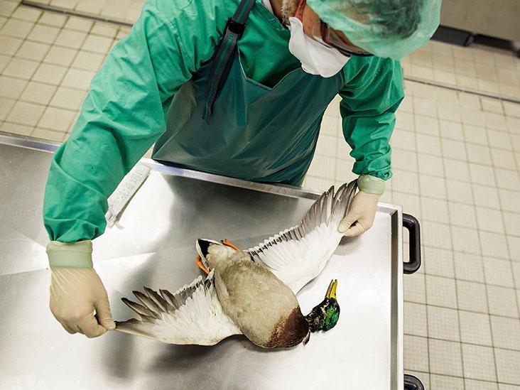 Cette souche de grippe aviaire tue un tiers des patients