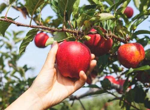Choisissez une pomme rouge de l'arbre