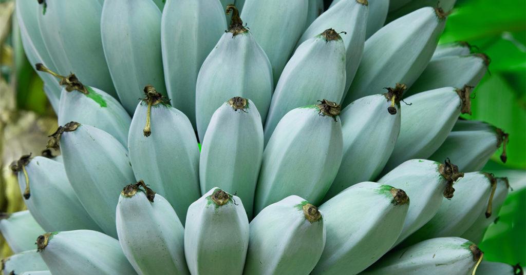 bananes Java bleues