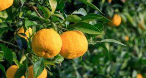 Fruit de Yuzu