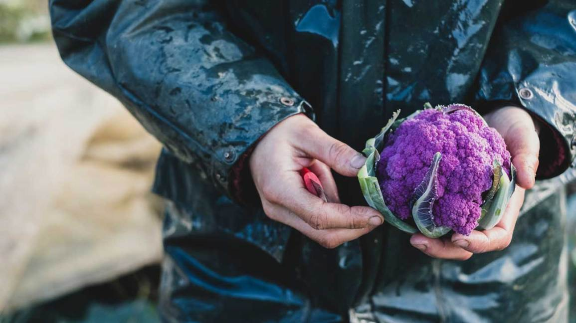 mains tenant le chou-fleur violet