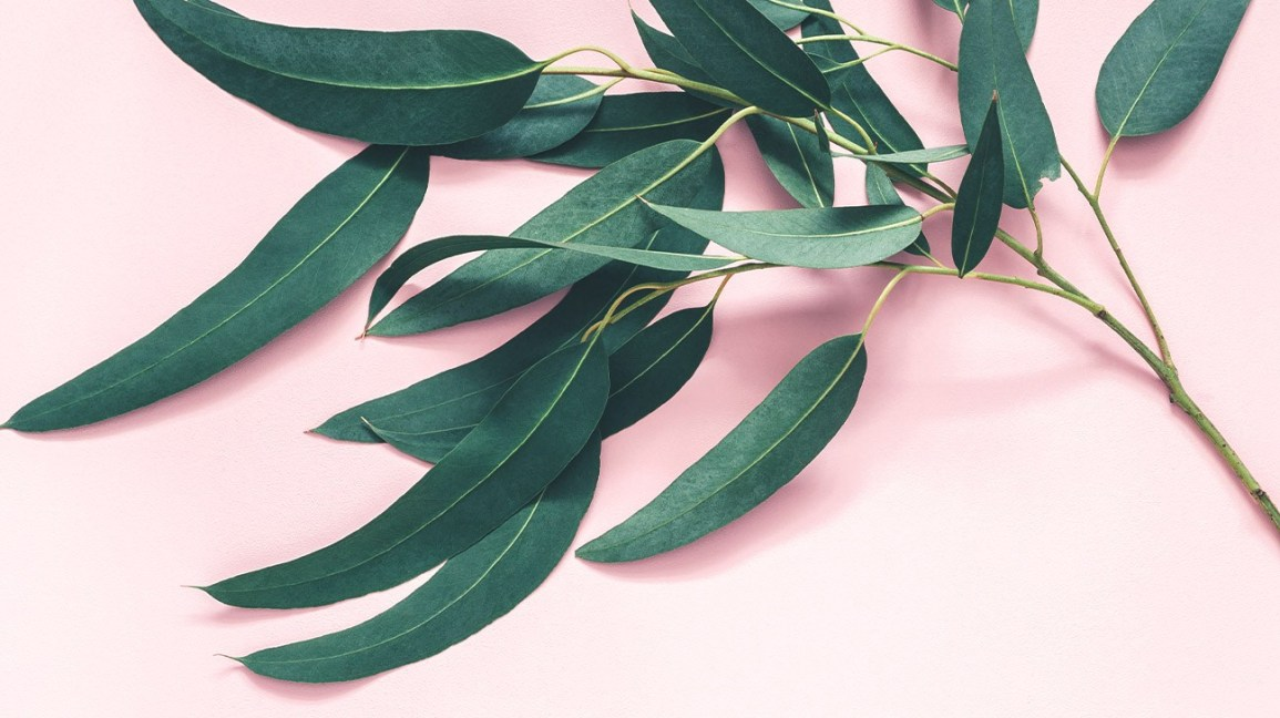 Feuilles d'eucalyptus