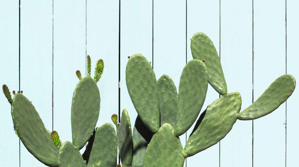 Cactus à partir duquel l'eau de cactus peut être dérivée