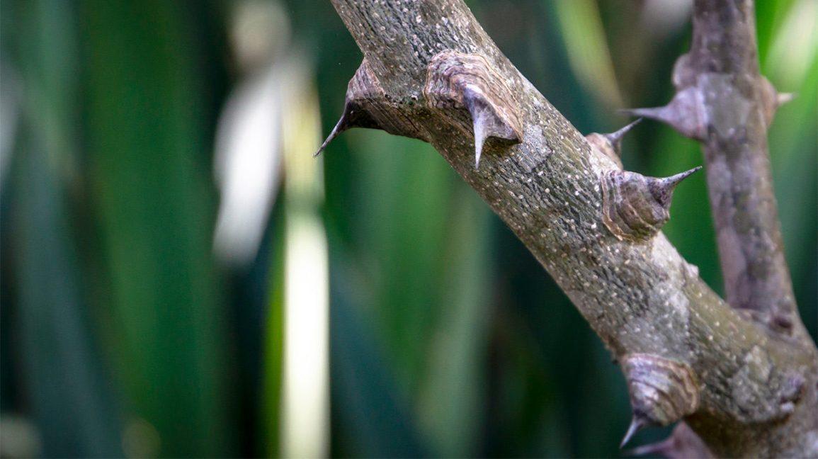 épines sur une branche de frêne épineux