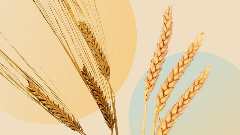 l'orge et le blé