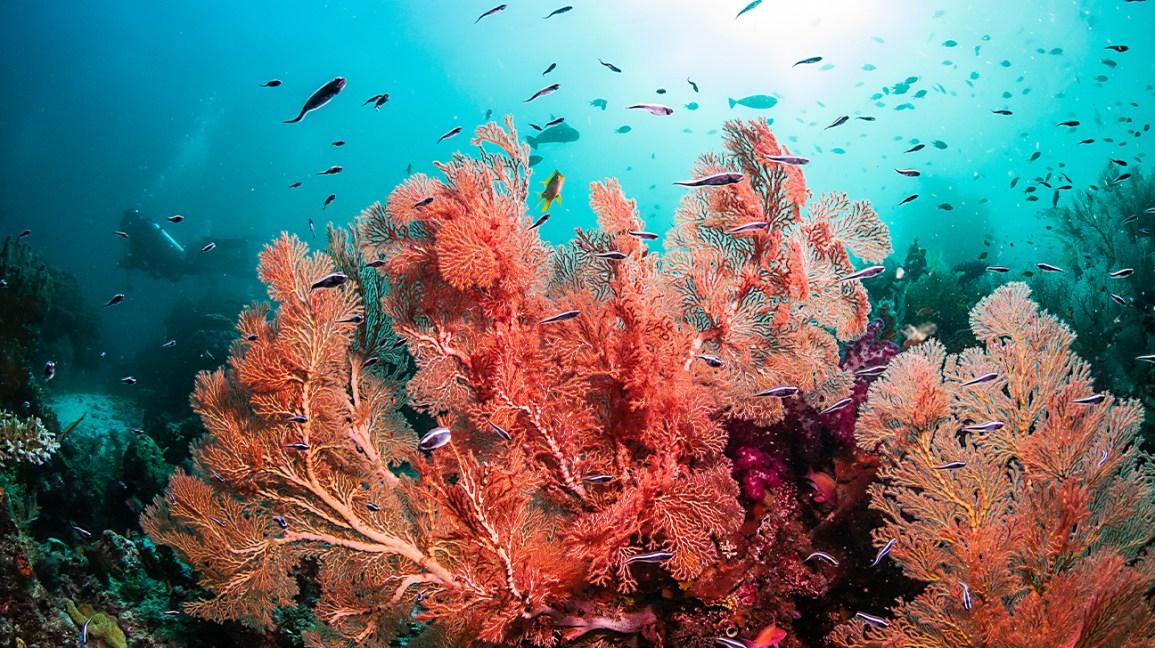 récif de corail avec corail rouge et poisson