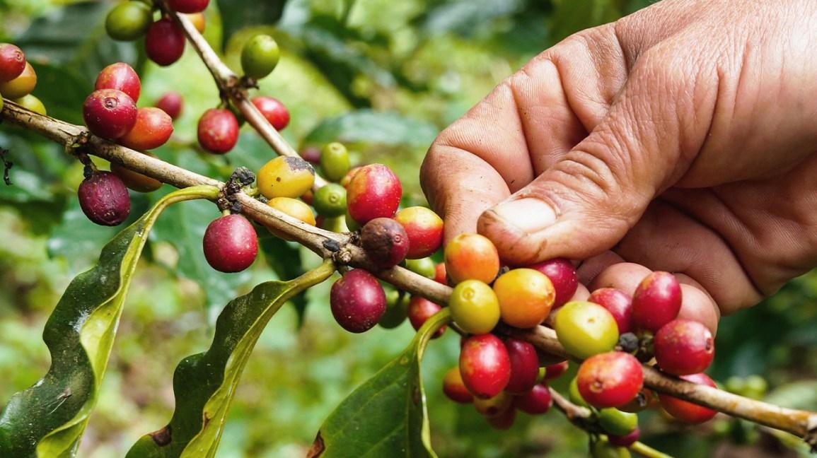 café baies café fruit
