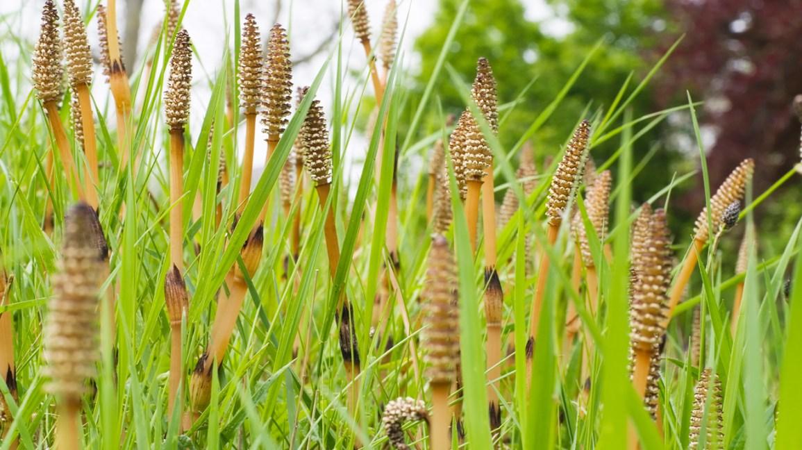 Prêle (Equisetaceae)