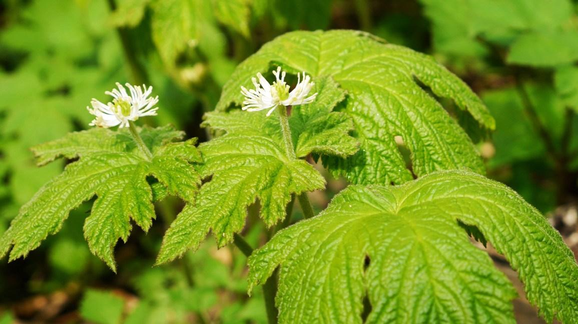 suppléments de berbérine : Feuilles d'hydraste à fleurs blanches