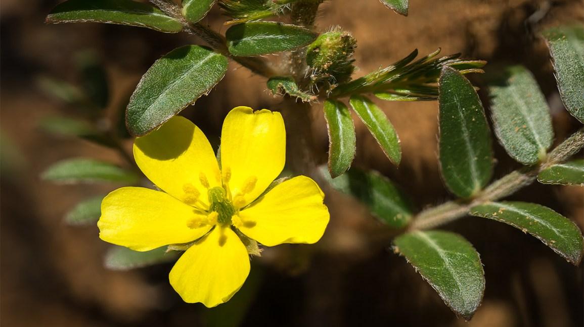 Gokshura (Tribulus terrestris) en fleur