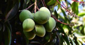 Mangue africaine